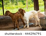 goats in the farm in thailand | Shutterstock . vector #444296791