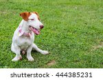 jack russell dog owners looking ...   Shutterstock . vector #444385231