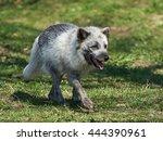 Small photo of Arctic Fox (Alopex Lagopus) at springtime in its habitat