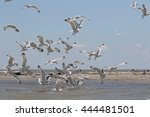 yellow legged gull  larus... | Shutterstock . vector #444481501