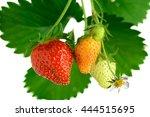 Strawberries Growing In Nature...