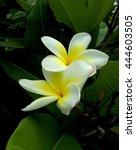 frangipani plumeria  temple...   Shutterstock . vector #444603505
