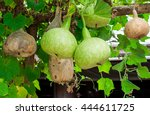 Wax Gourd Or Winter Melon Or...
