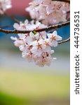 cherry blossoms | Shutterstock . vector #444736531