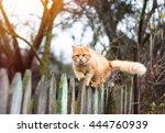 Fluffy Ginger Tabby Cat Walkin...