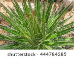 Agave Coll. Yucca Dykia Hechti...