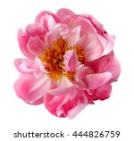 Pink Peony Flowers Isolated On...