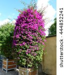 Small photo of Bougainvillea glabra ,Alexandra,.Nyctaginaceae family