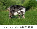 funny border collie dog catches ... | Shutterstock . vector #444965254