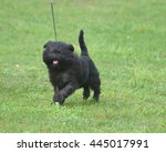 Small photo of Really cute affenpinscher dog with a pink tongue.
