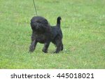 Small photo of Adorable black affenpinscher puppy dog on a leash looking ready to bark.
