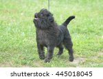 Small photo of Cute affenpinscher dog on a leash looking up.