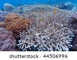 Small photo of Acropora hemprichii, Moyo island, N of Sumbawa, Indonesia