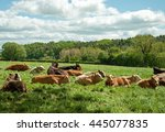 cattle relaxing in a summer... | Shutterstock . vector #445077835