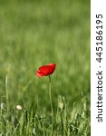 red poppies in rays sun  local... | Shutterstock . vector #445186195