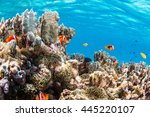 colony of anemonefish | Shutterstock . vector #445220107