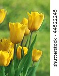 beautiful yellow tulips - stock photo