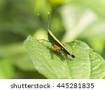 grasshopper on a green leaf ... | Shutterstock . vector #445281835