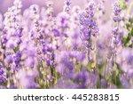 soft focus of lavender flowers... | Shutterstock . vector #445283815