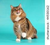 Bobtail Cat Licks Itself...