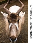 Small photo of head of addax - white antelope
