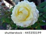 Beautiful Deep Yellow Rose In...