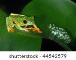 Red Eye Tree Frog With Eggs On...