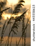 reeds at dusk | Shutterstock . vector #445558615