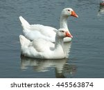 Two Geese On The Lake