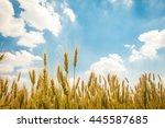 A Wheat Field  Fresh Crop Of...