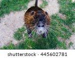 Wild Furry Coypu Standing On...
