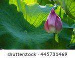 the beautiful blossoming lotus...   Shutterstock . vector #445731469