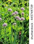 Small photo of Allium schoenoprasum is a perennial edible herb. Blooming buds