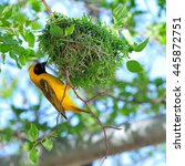 Small photo of Southern masked weaver building its nest