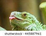 Green Iguana Reptile Portrait