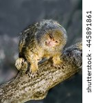 the pygmy marmoset is sitting... | Shutterstock . vector #445891861