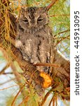 Small photo of African scops owl resting