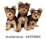 Three Yorkshire Puppies