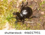 Bloody Nosed Beetle  Blood...