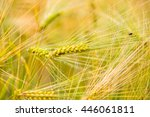 corn wet from the morning dew. | Shutterstock . vector #446061811