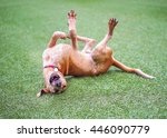 Coonhound Mix Rolling In Grass