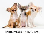 Three dogs of breed chihuahua on a neutral background - stock photo