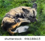Small photo of African hunting dog. Latin name - Lycaon pictus