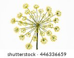 The Blossoming Fennel On A...