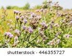 Weed  Cirsium Arvense  In...