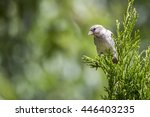 a sparrow  passeridae  perched... | Shutterstock . vector #446403235