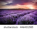 Blooming Lavender Field Under...
