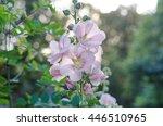 Tender Mallow  Malvaceae  Alce...