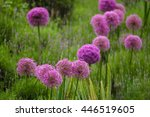 purple color ornamental onion ...
