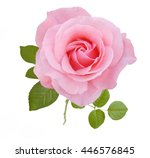 Stock photo pink rose isolated on white background 446576845